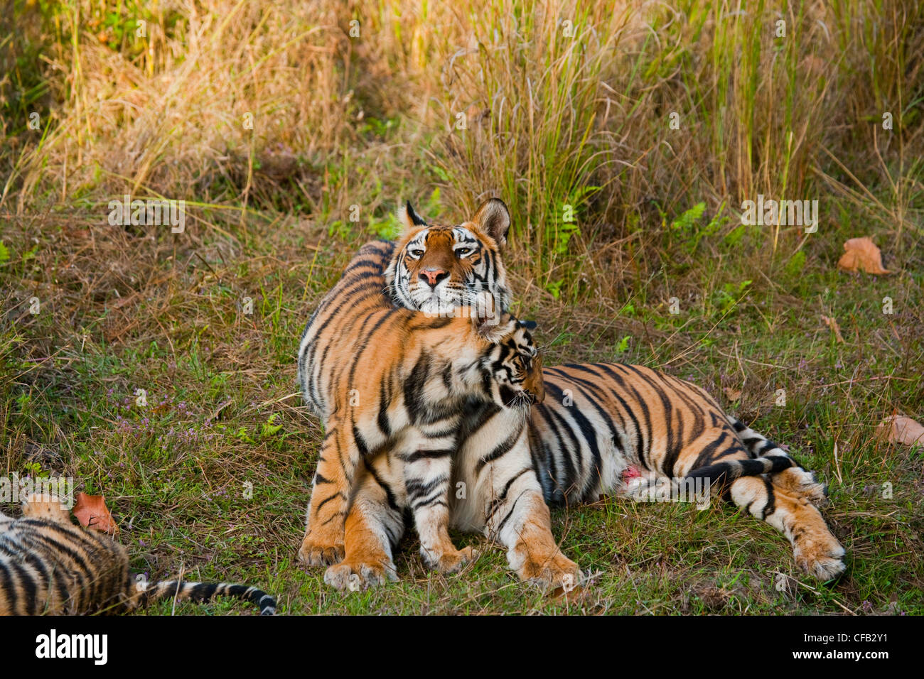 Tiger cubs and mother