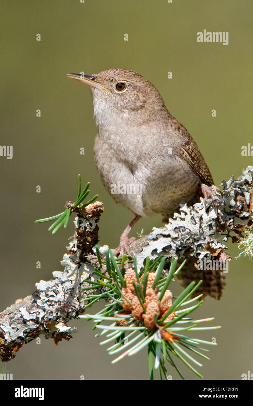 wrens single parents House wrens will gladly use  house wrens are aggressive single males sometimes compete for females even  johnson, l scott 2014 house wren (troglodytes aedon.