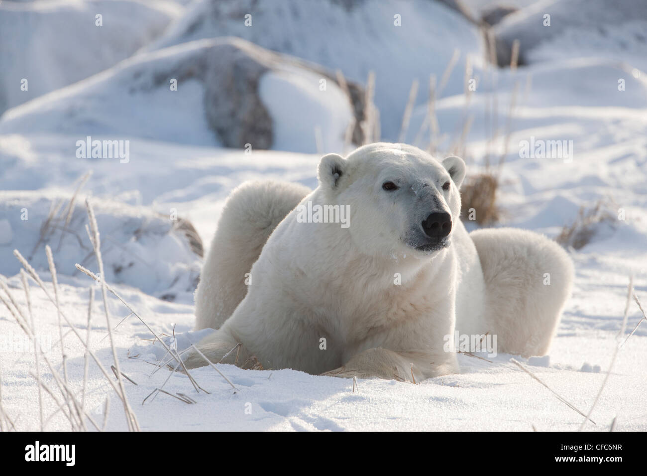 polar bear ursus maritimus laying down coast
