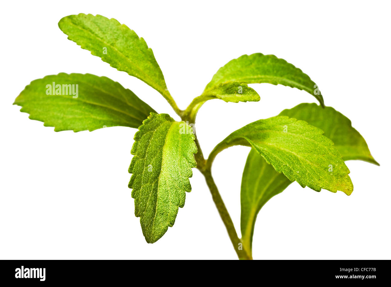stevia plant support for sugar stock photo royalty free image 43909695 alamy. Black Bedroom Furniture Sets. Home Design Ideas