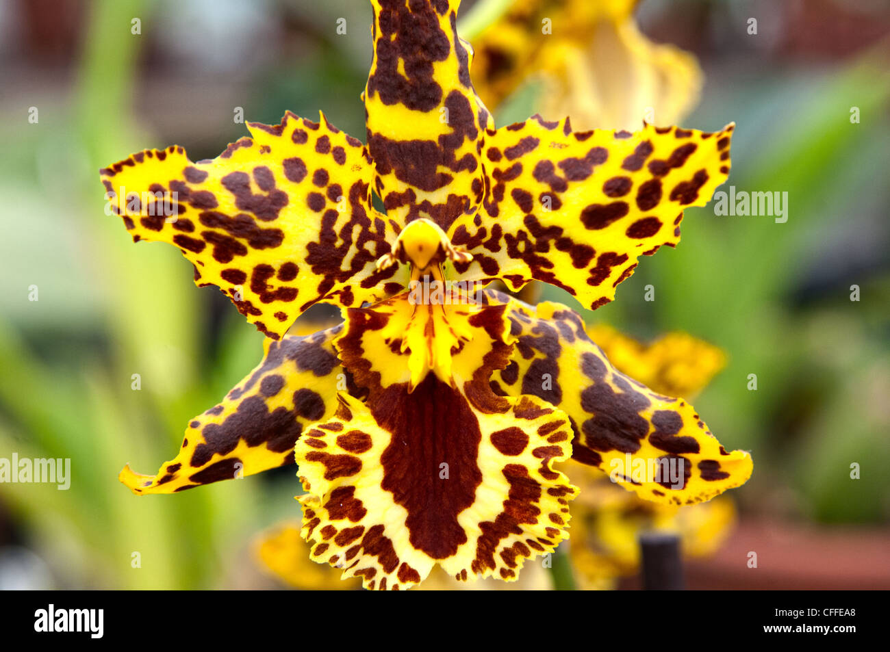 orchids yellow and maroon orchid stock photo  royalty free