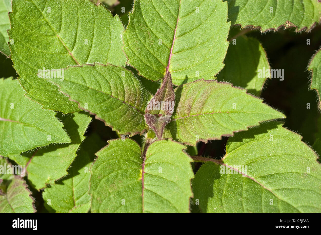 Green Young Foliage Leaves Of