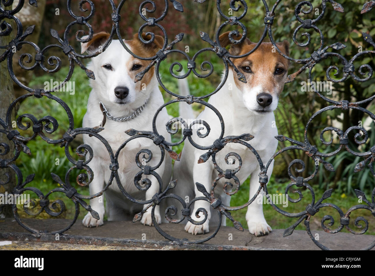 Stock Photo   Two Small Dogs Looking Through Wrought Iron Garden Fence  Railings