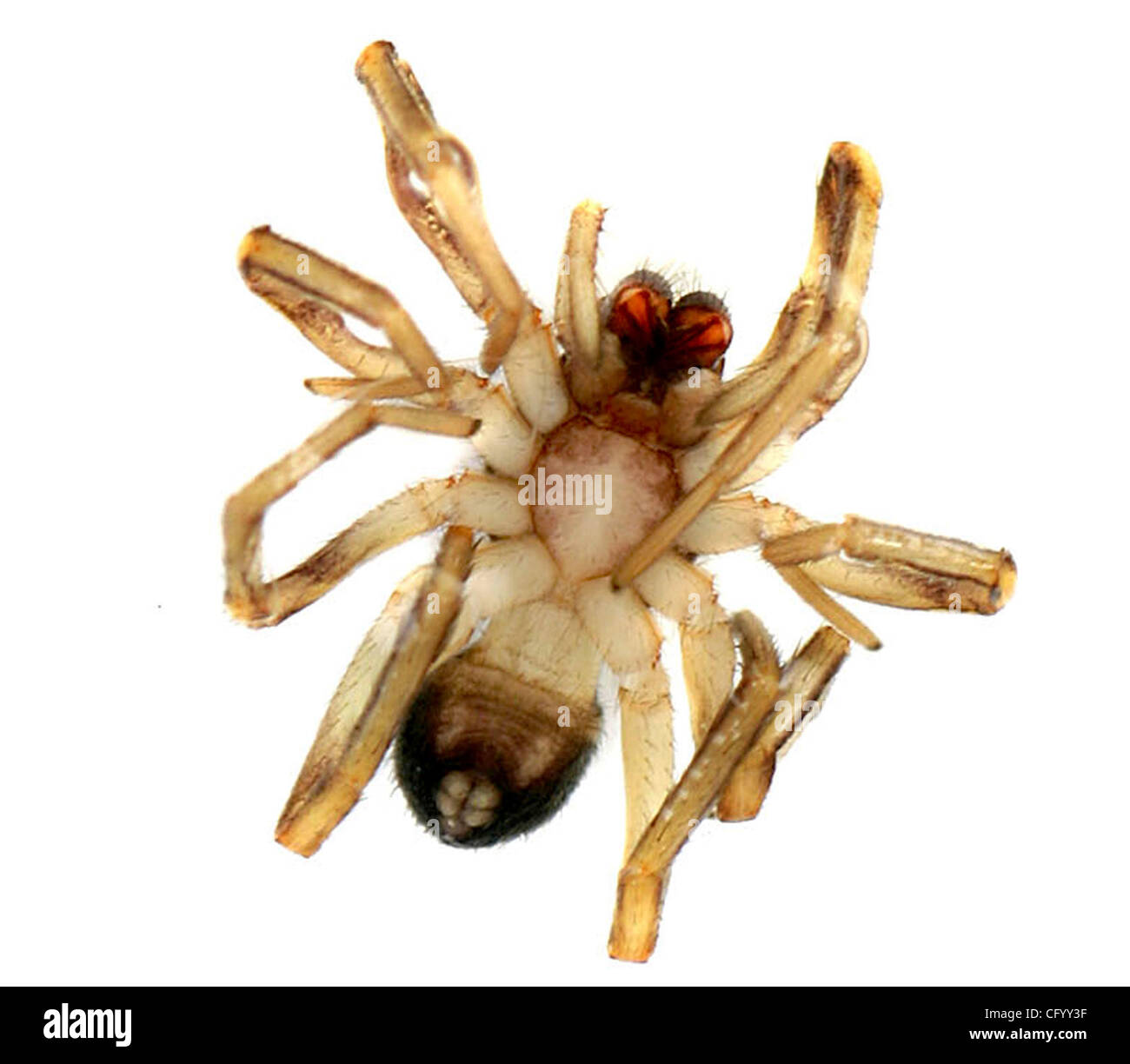 060107 - STUDIO - Preserved Brown Recluse Spider specimen with ...