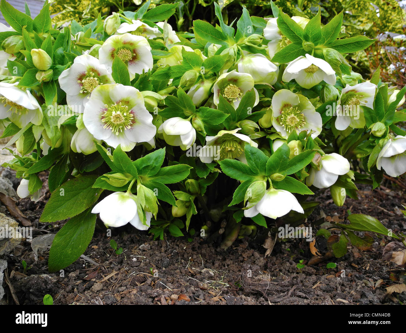 hellebores sometimes known as the christmas or lenten rose are