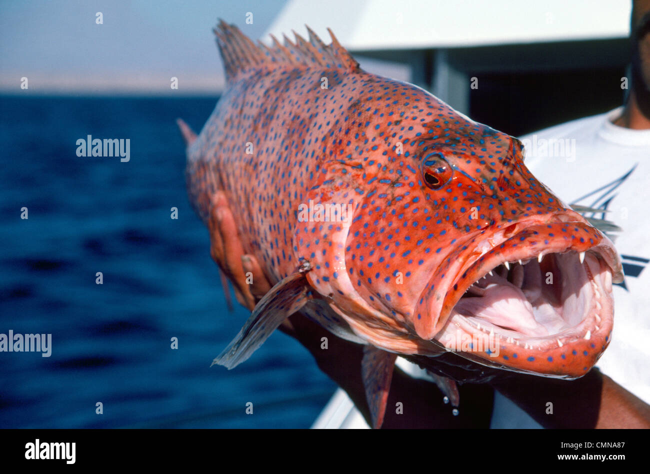 This huge and scary Coral grouper fish with sharp teeth ...