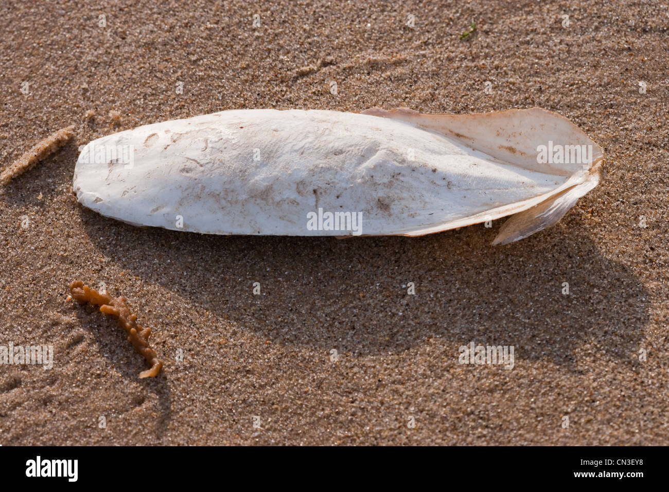 Cuttlefish Bone (Sepia officinalis). Calcareous support for living Stock Photo, Royalty Free Image: 47406108
