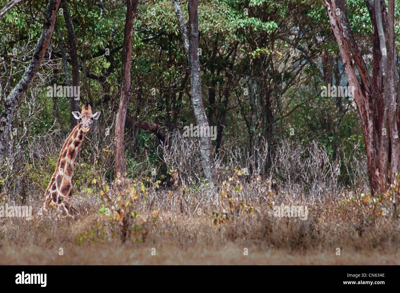 rothschild-or-baringo-giraffe-giraffa-ca