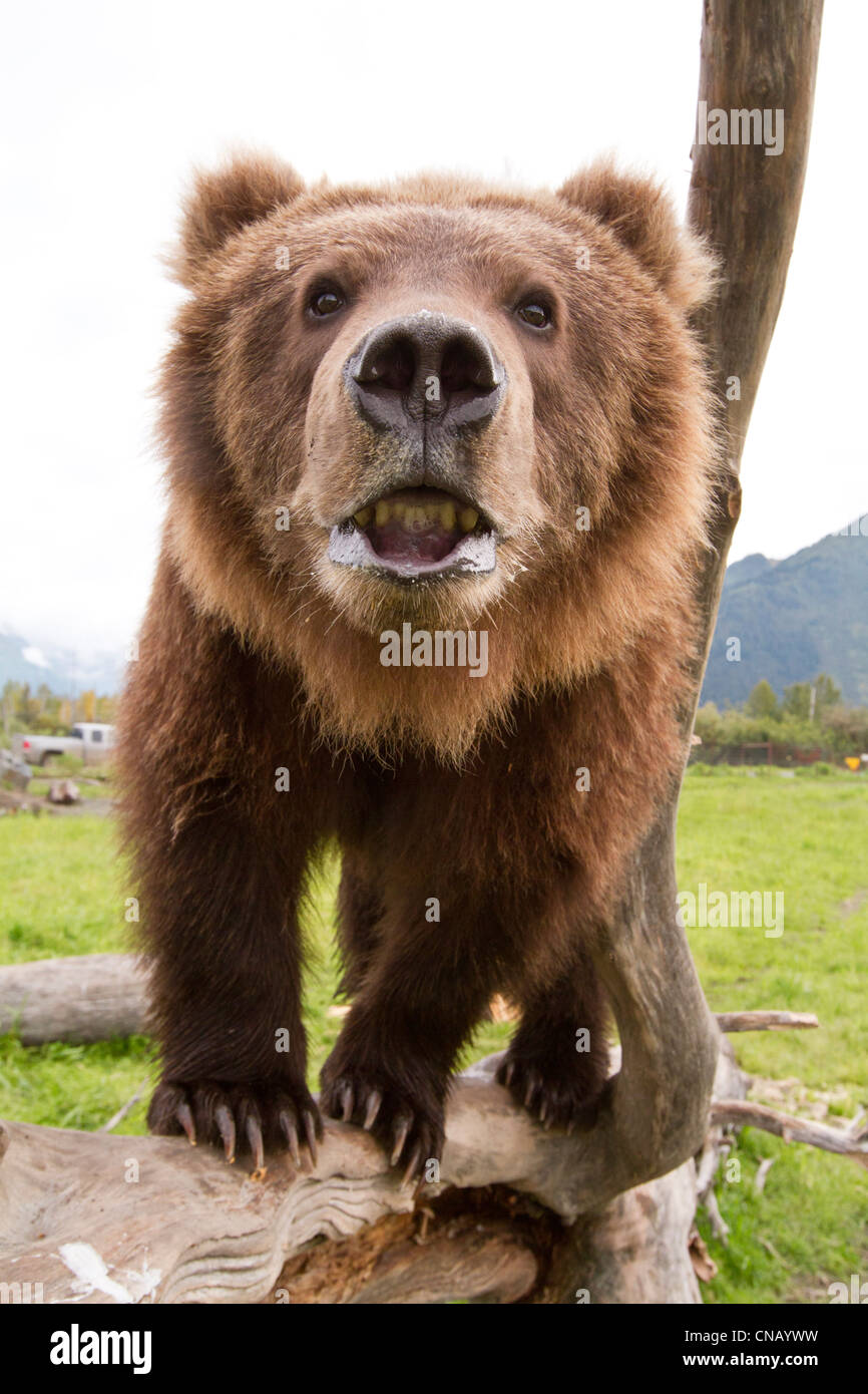 CAPTIVE: Close up of a young male Kodiak Brown bear ...