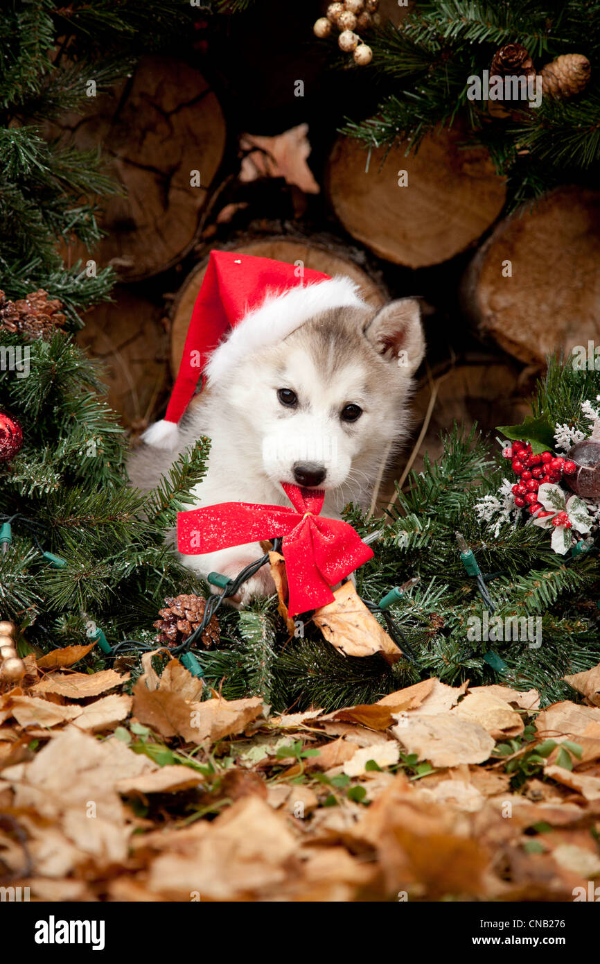 Fox with a hat new year or christmas animal isolated on white - Siberian Husky Puppy Wearing A Santa Hat Sits Inside A Christmas Wreath Outdoors Alaska