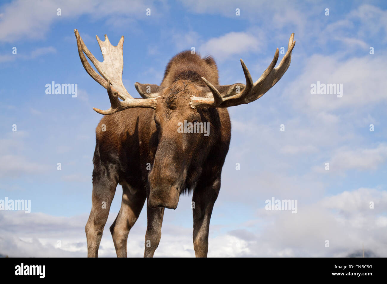captive close up and low angle view of a bull moose alaska