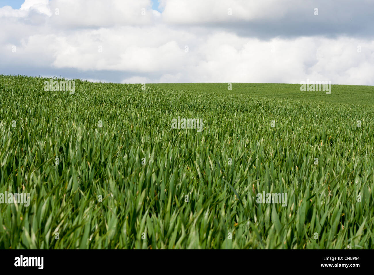 tall green grass field. Landscape Of Field, Tall Green Grass, Blue Sky, White Clouds. Summer Or Spring Scene, English Countryside. Copy Space No People Grass Field