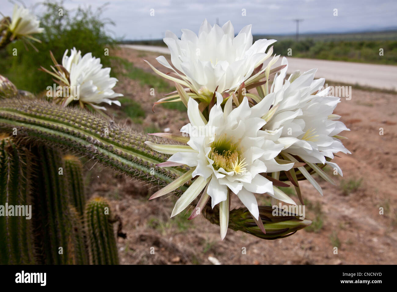 White cactus flower, Eastern Cape, South Africa Stock ...