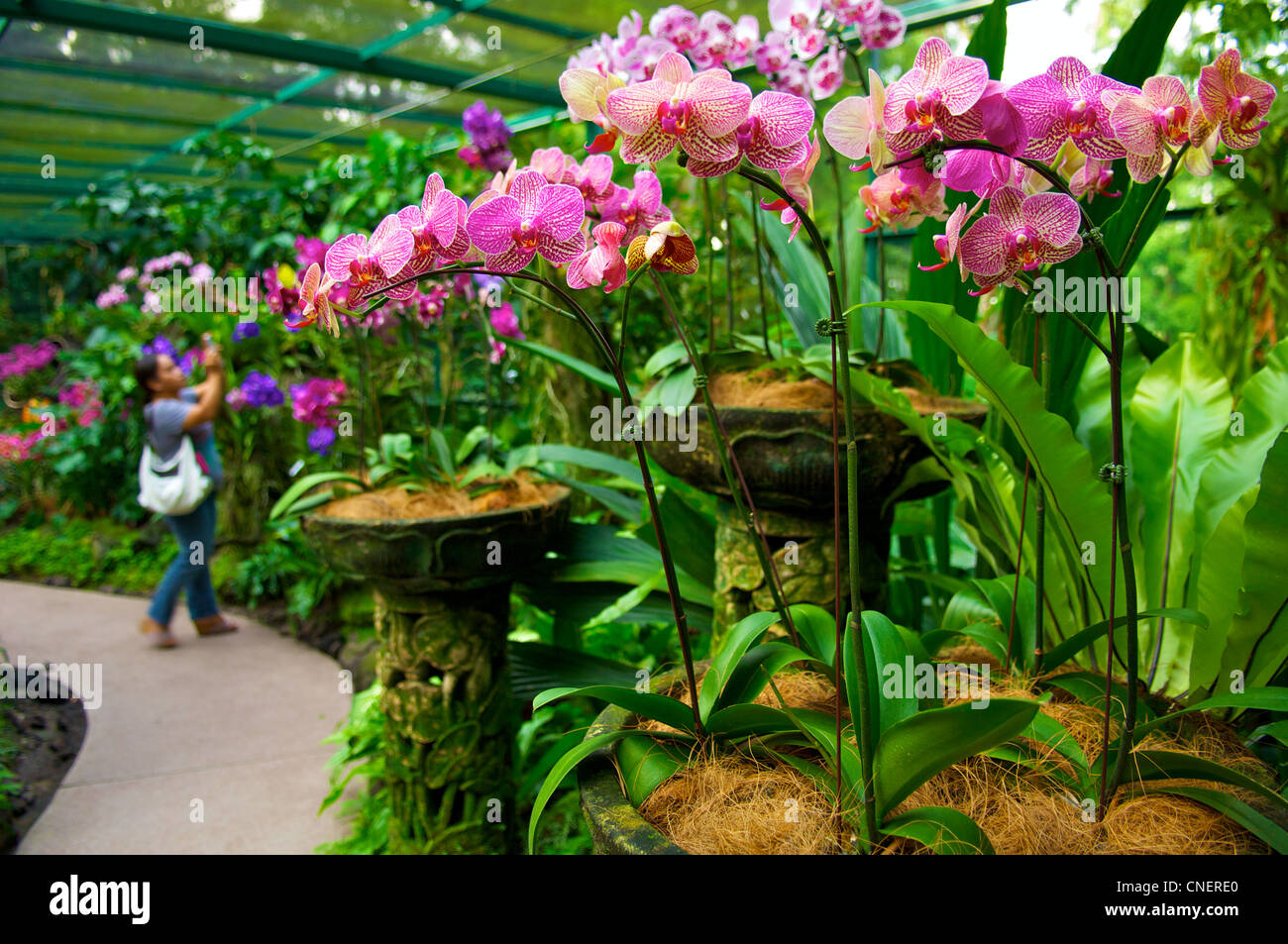Orchids In A Greenhouse In The National Orchid Garden In The Botanic Gardens  In Singapore