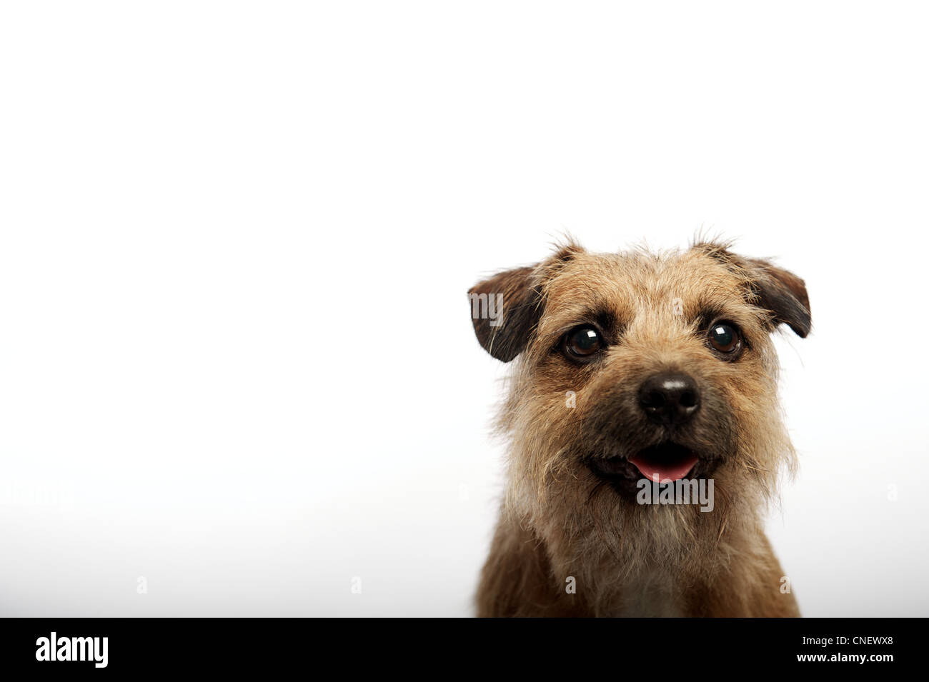 Beautiful Wire Haired Border Terrier Ideas - The Best Electrical ...