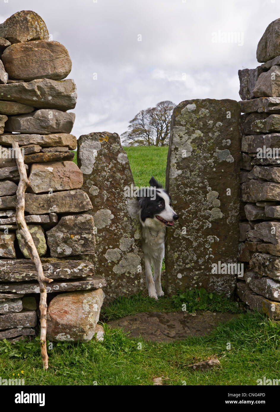 [Image: a-squeeze-stile-in-a-dry-stone-wall-in-t...CNG4PD.jpg]