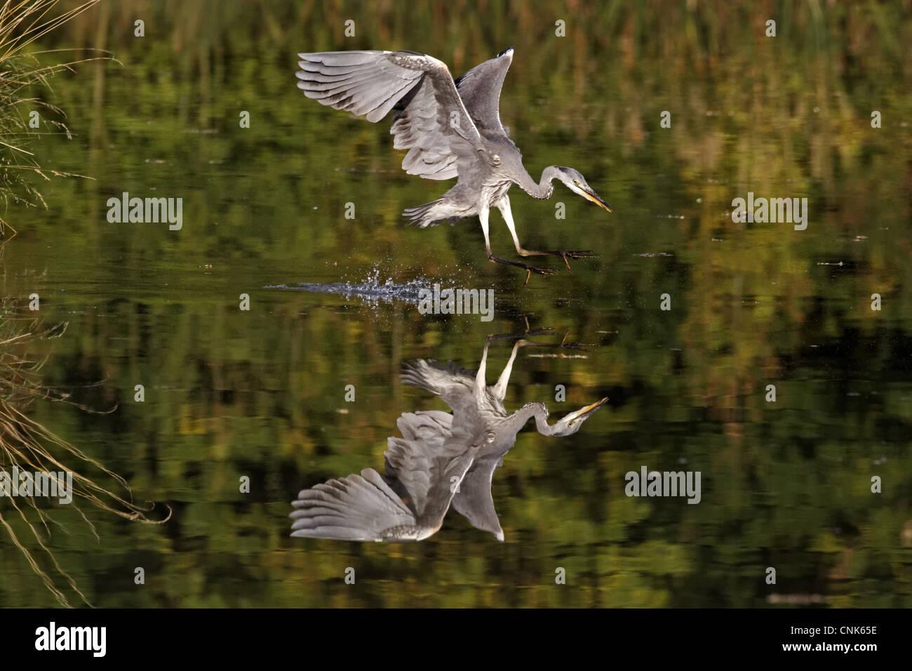 Freshwater juvenile fish - Grey Heron Ardea Cinerea Juvenile In Flight Feeding Striking At Fish In Water Midlands England October