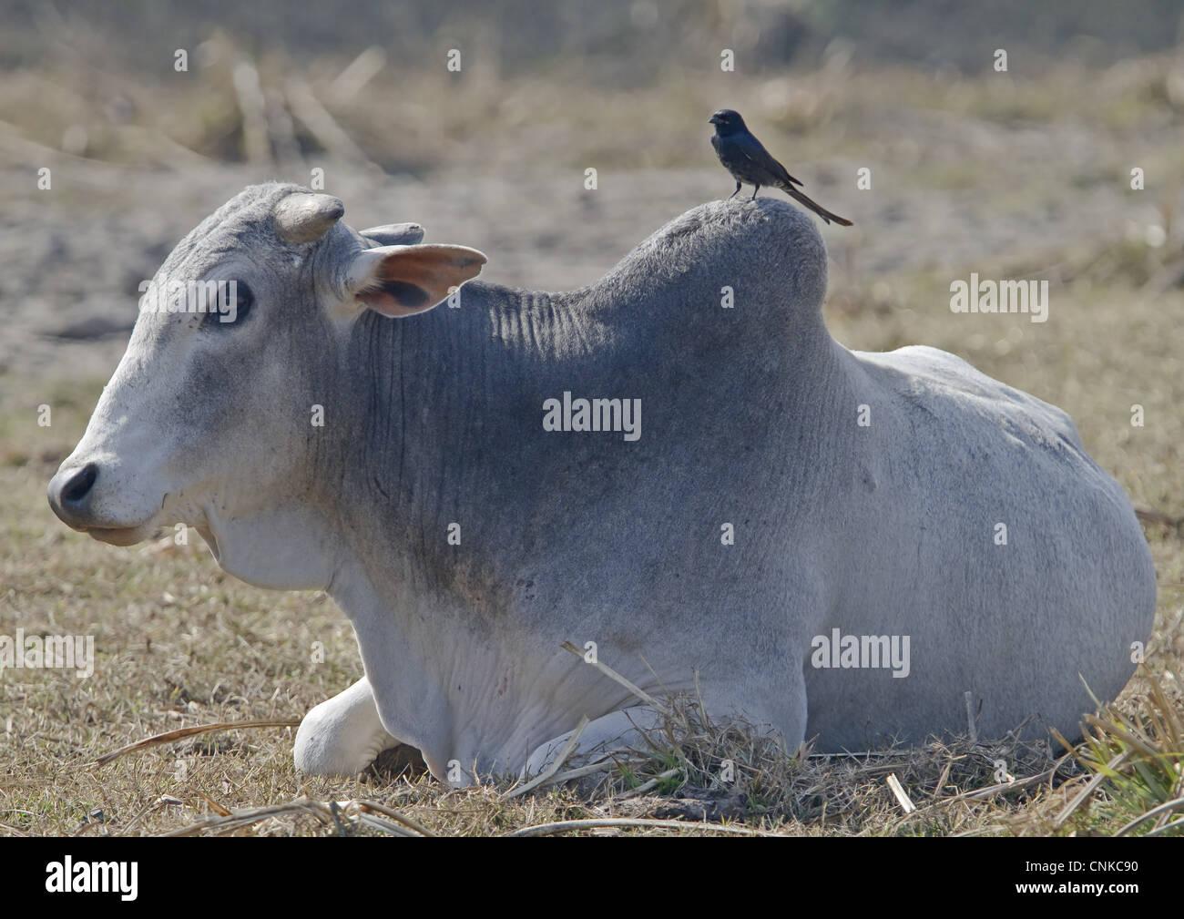 Image result for black drongo zebu