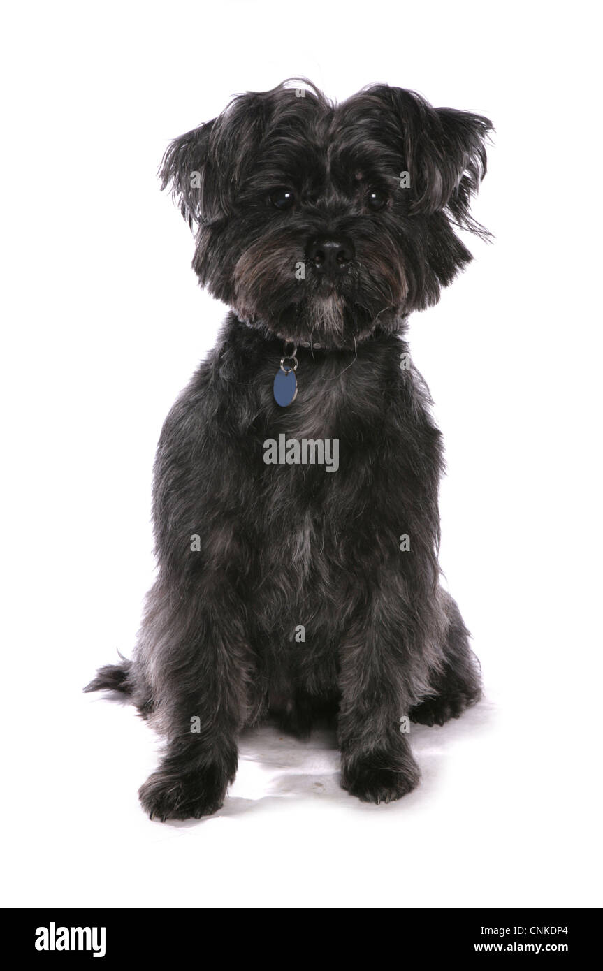 West Highland Black Terrier | www.pixshark.com - Images ...