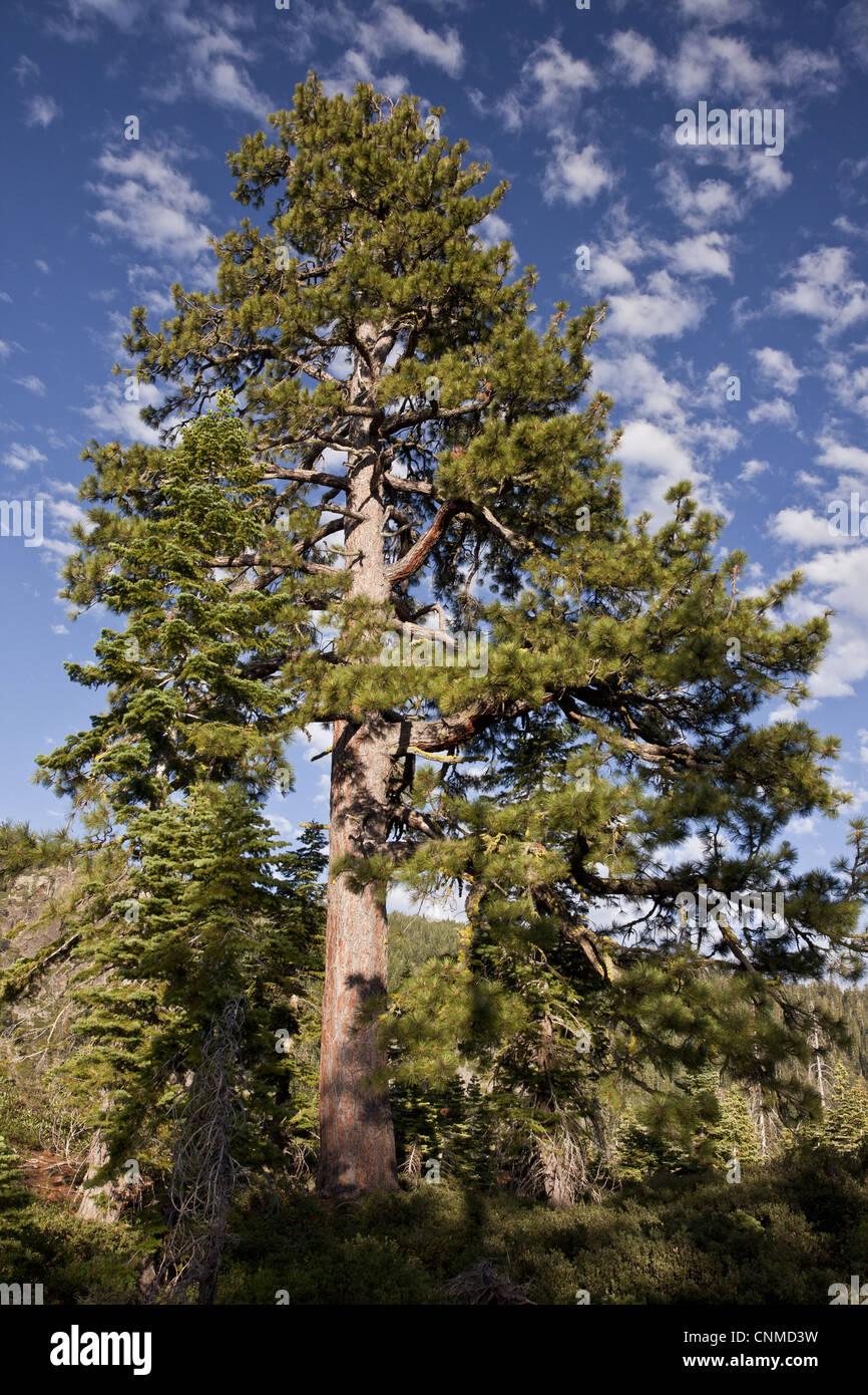 San Gabriel Mountains >> Jeffrey Pine (Pinus jeffreyi) old tree, habit, growing at high Stock Photo, Royalty Free Image ...
