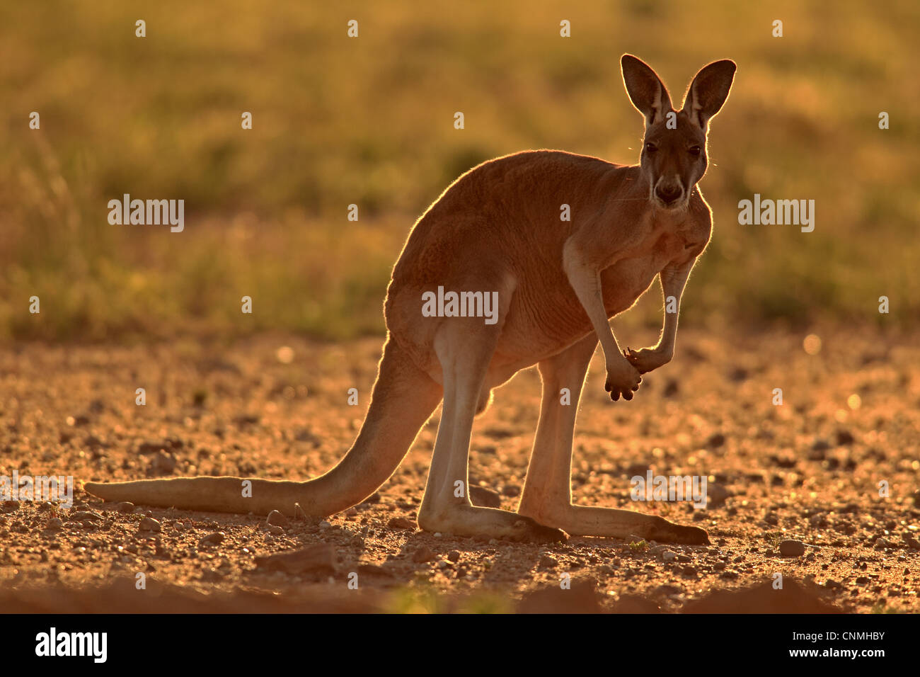 Red kangaroo standing next to person