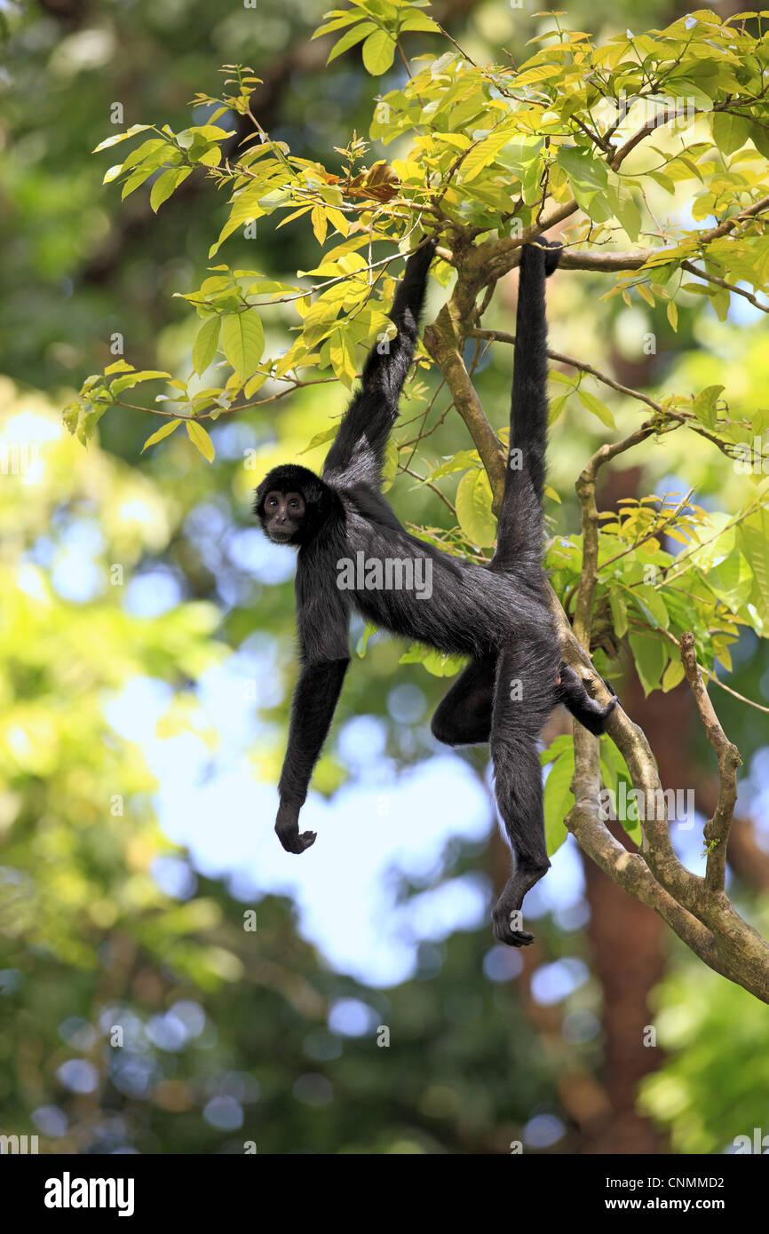black spider monkey ateles paniscus hanging from tree