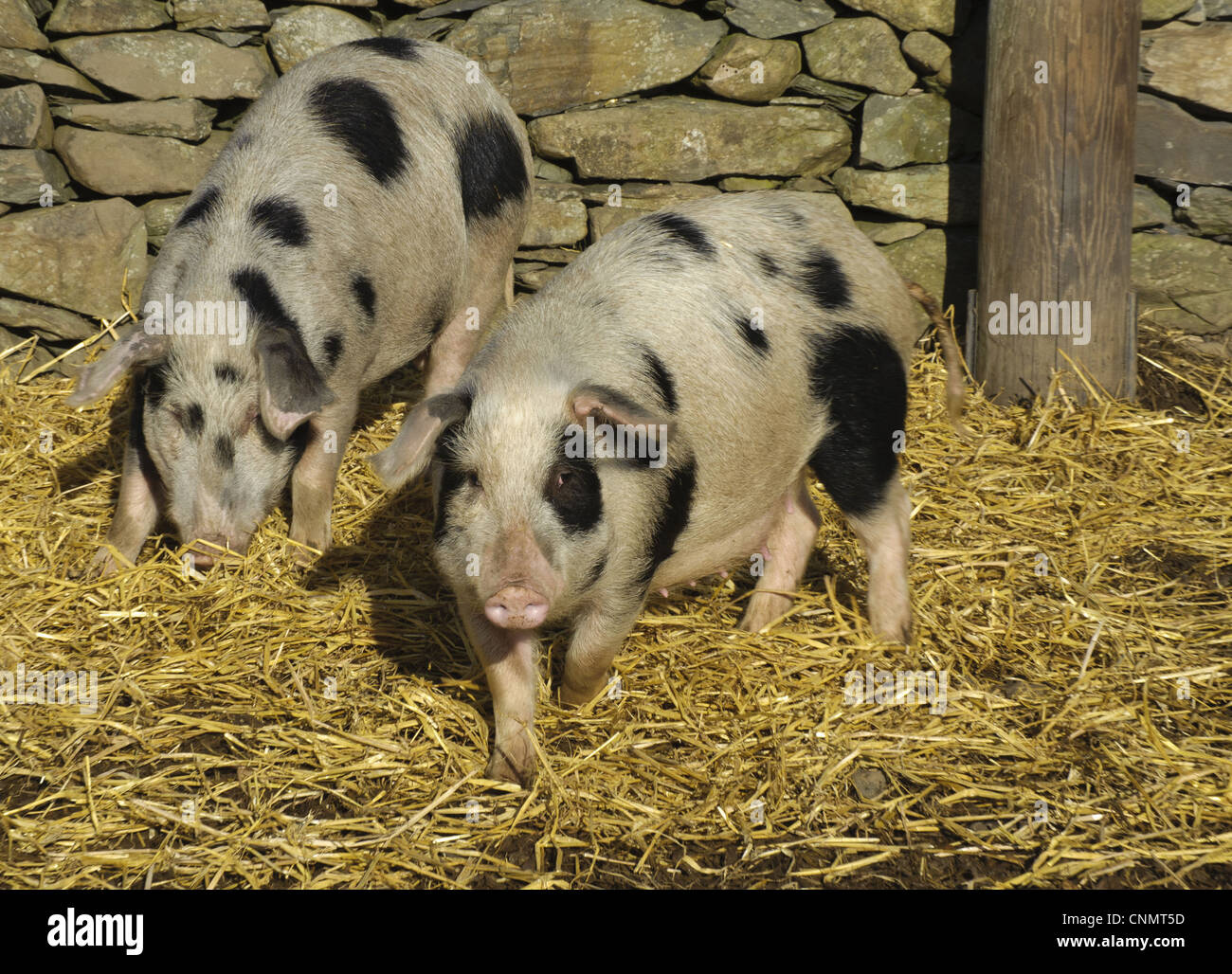 Domestic Pig Gloucester Old Spot Sows Smaller Selectively ...