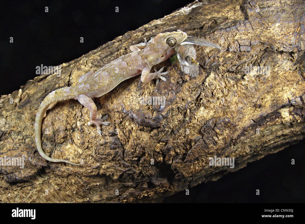 moreau's tropical house gecko (hemidactylus mabouia) adult