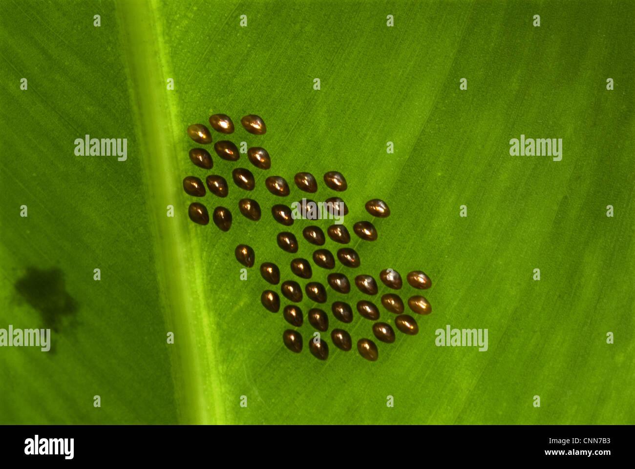 Orange-tipped Leaf-footed Bug (Anasa tristis) introduced species ...