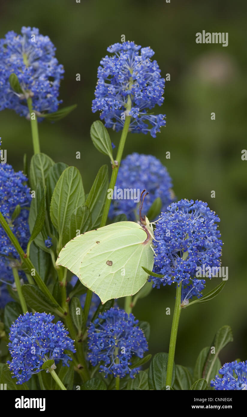 Brimstone Butterfly (Gonepteryx Rhamni) Adult, Feeding On California Lilac  (Ceanothus Arboreus) Flowers In Garden, England, June