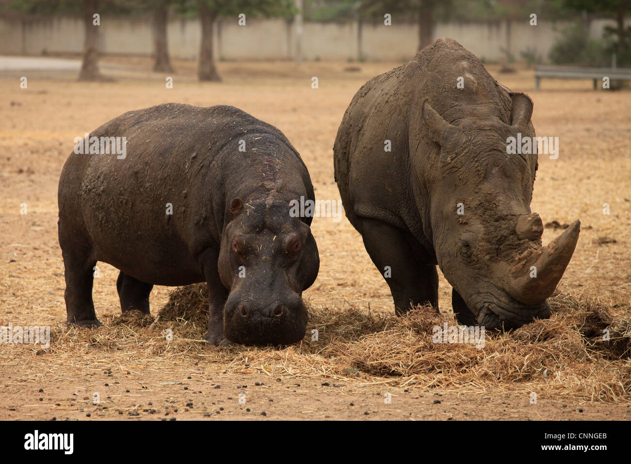 http://c8.alamy.com/comp/CNNGEB/a-rhino-and-a-hippo-eating-together-at-the-open-african-park-of-ramat-CNNGEB.jpg