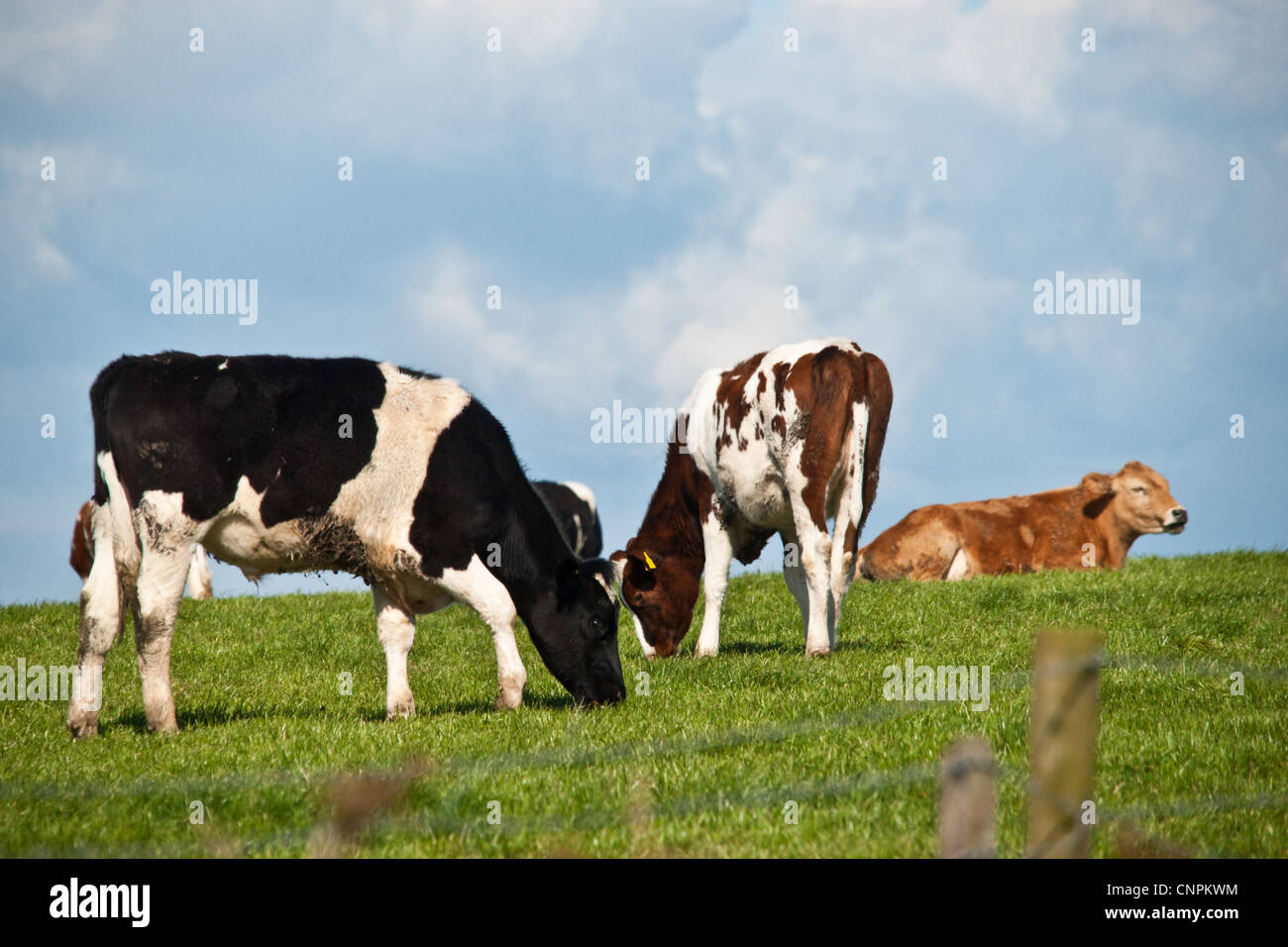 a herd of cows bullocks in a field on a hilltop stock photo