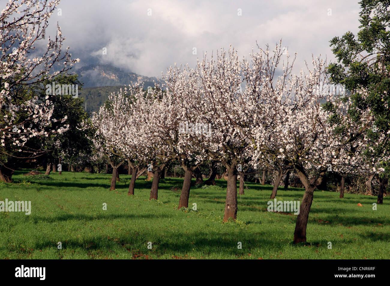 bitter almond Prunus amygdalus flowering almond trees at Mallorca Stock Ph
