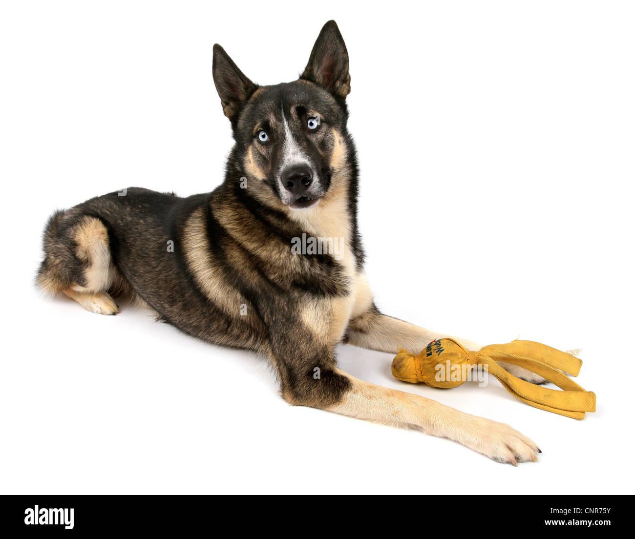 Norwegian Elkhound X Siberian Husky