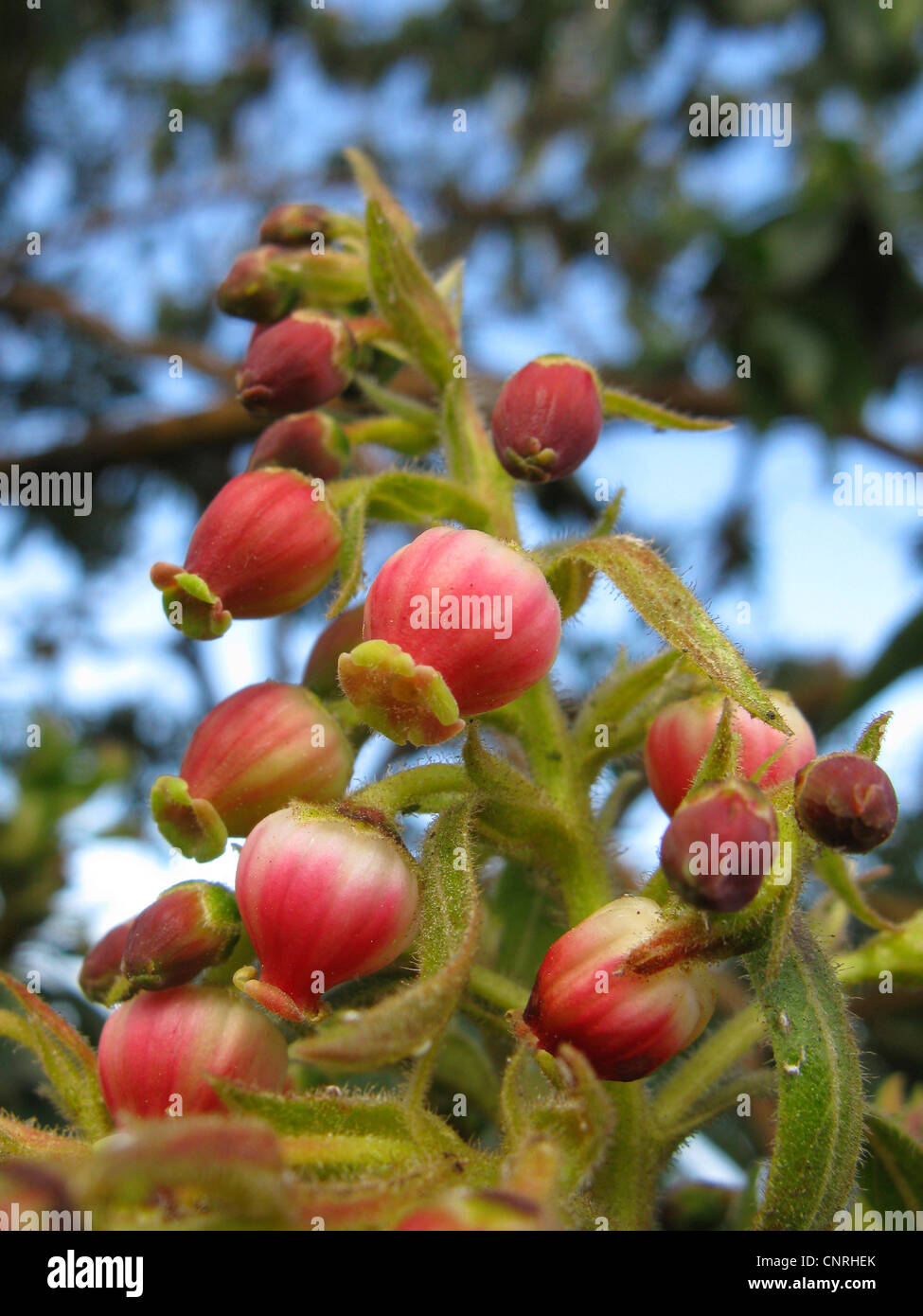 strawberry tree stock photos  strawberry tree stock images  alamy, Beautiful flower