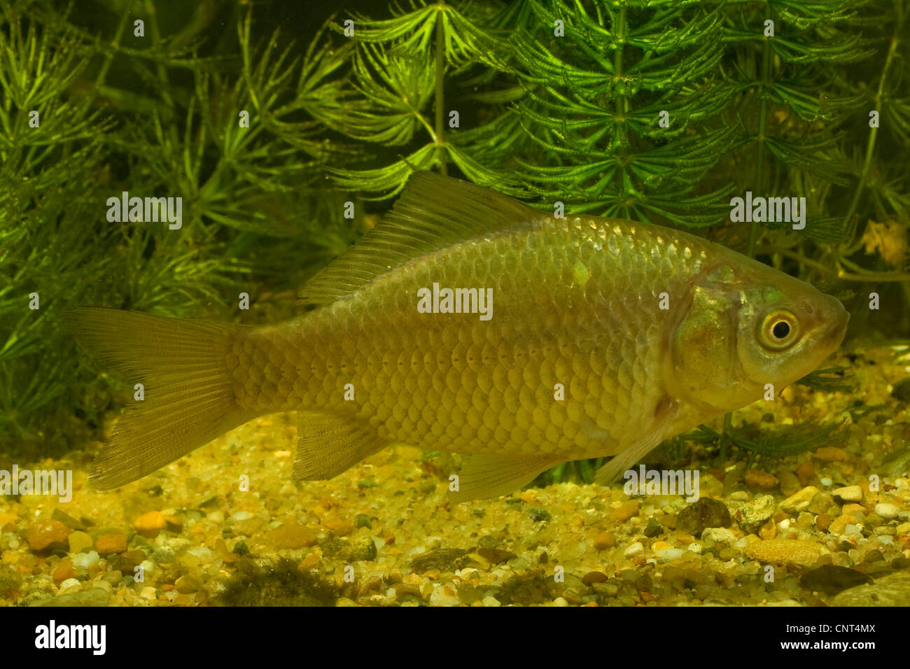 how to catch prussian carp