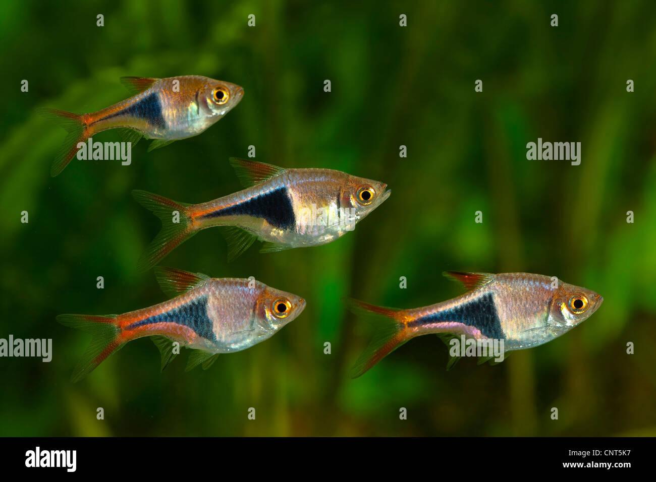 Freshwater aquarium fish rasbora - Stock Photo Harlequin Fish Harlequin Rasbora Rasbora Heteromorpha Little Shoal