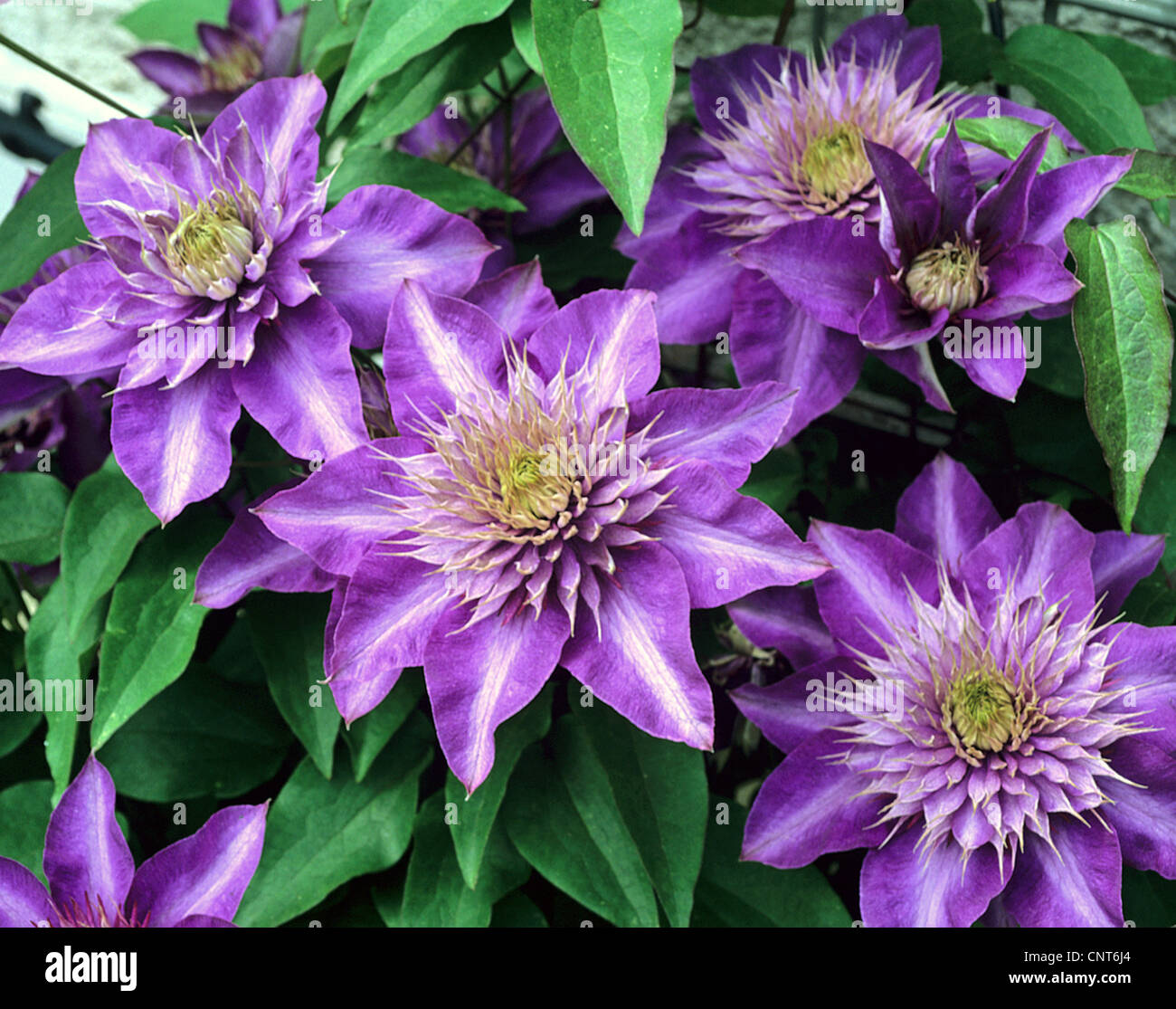 clematis virgins bower clematis spec cultivar 39 multi blue 39 stock photo royalty free image. Black Bedroom Furniture Sets. Home Design Ideas