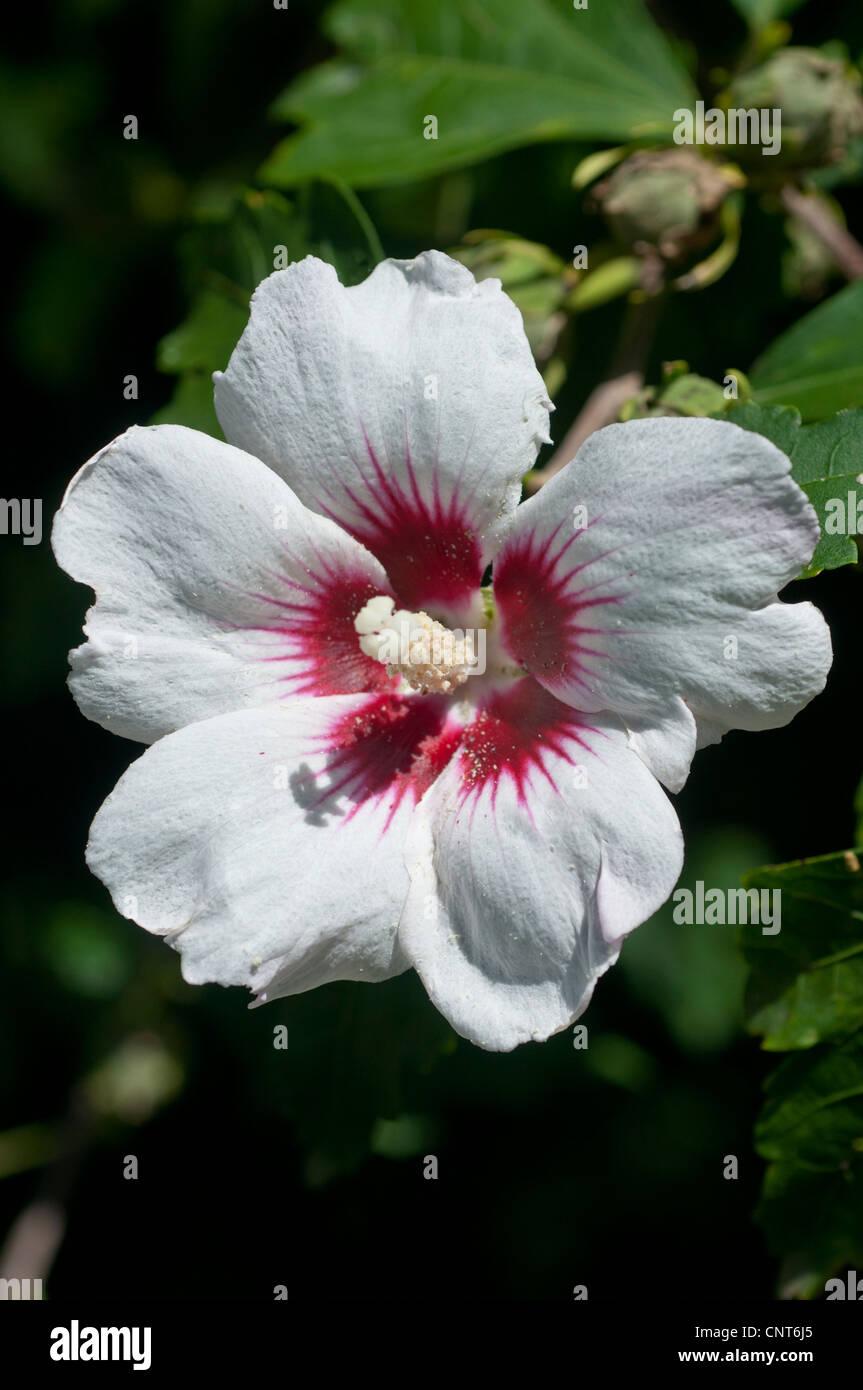 single white flower of rose of sharon shrub althea rose. Black Bedroom Furniture Sets. Home Design Ideas