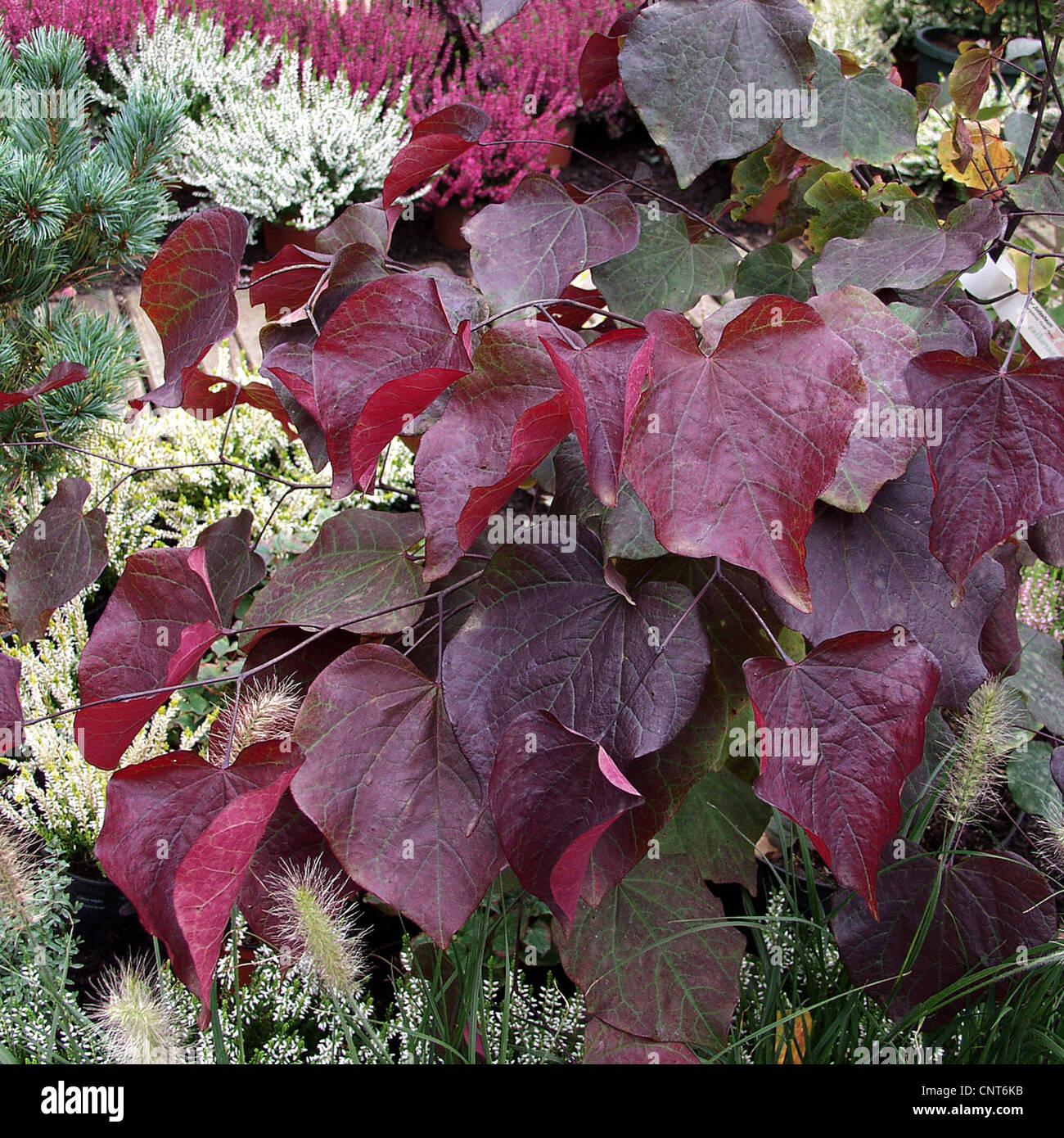 north america red bud eastern redbud cercis canadensis. Black Bedroom Furniture Sets. Home Design Ideas