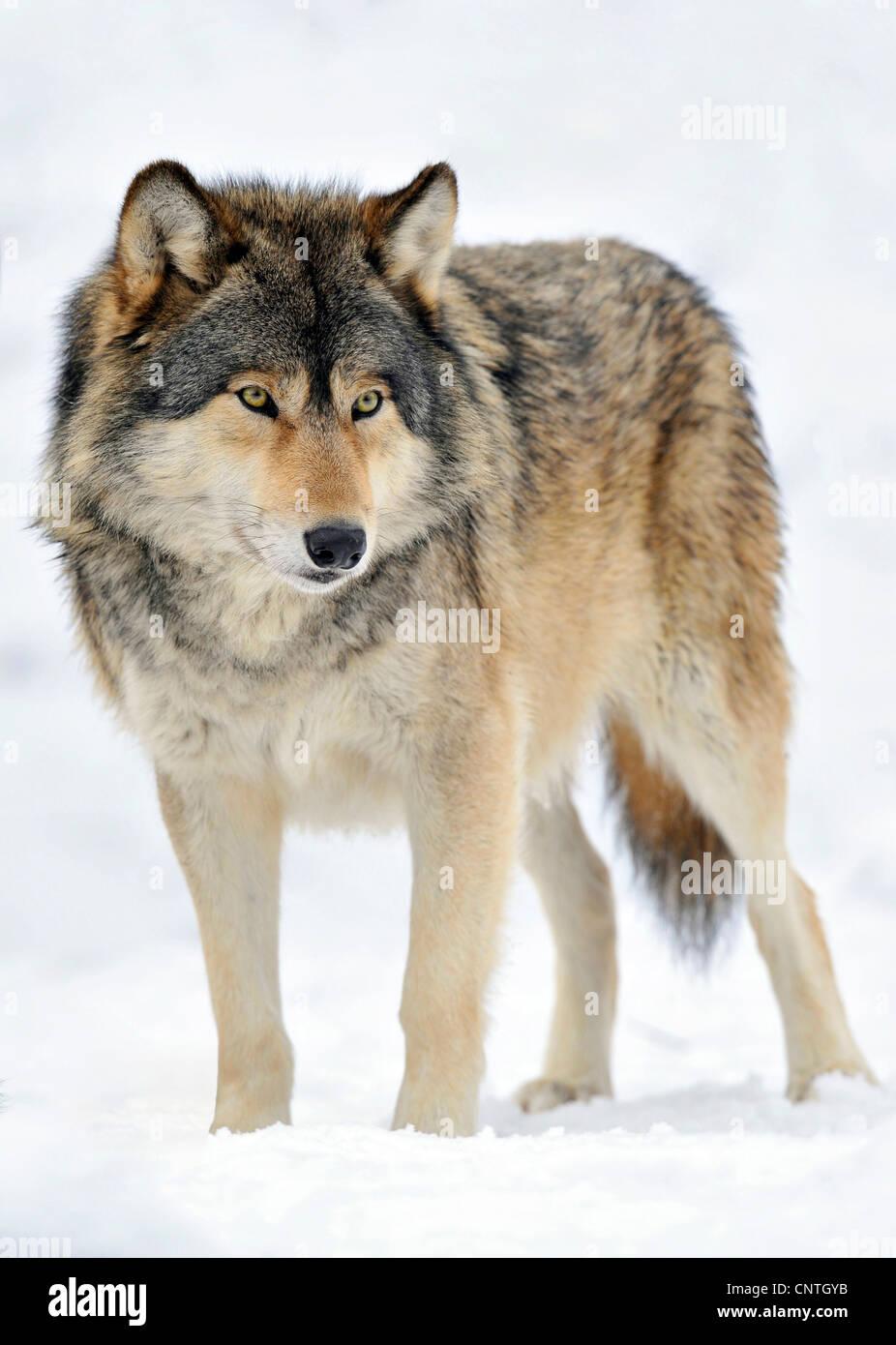 Mackenzie valley wolf - photo#18