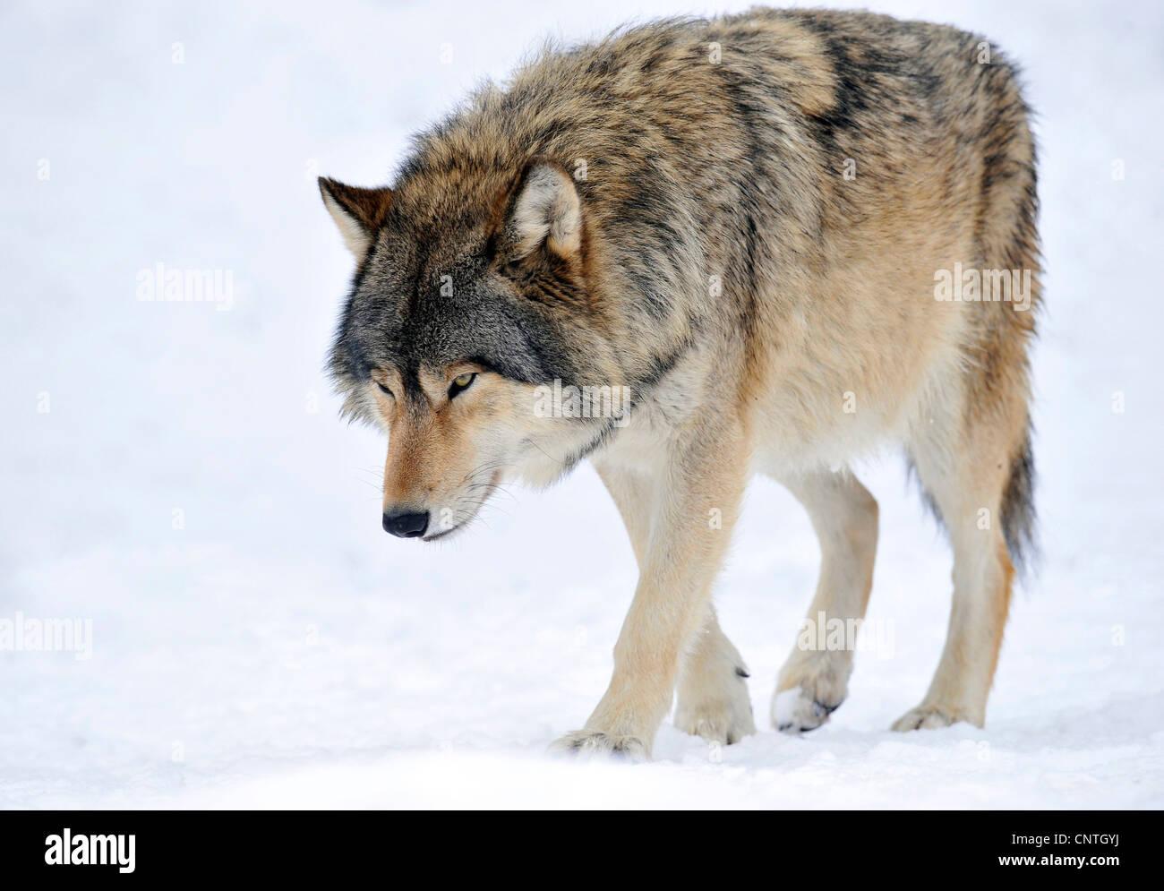 Mackenzie valley wolf - photo#14