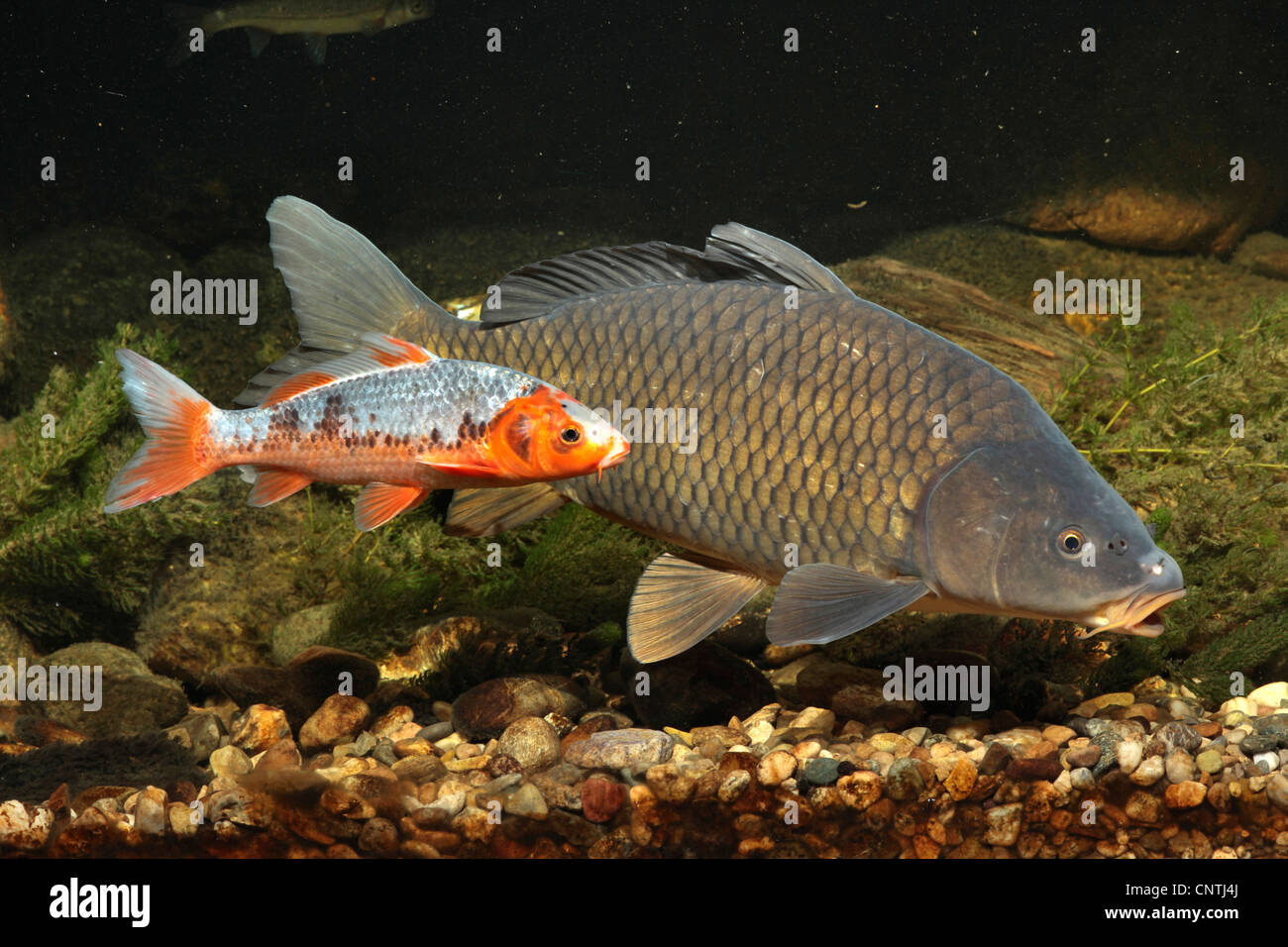 Carp common carp european carp cyprinus carpio fully for Cyprinus carpio koi