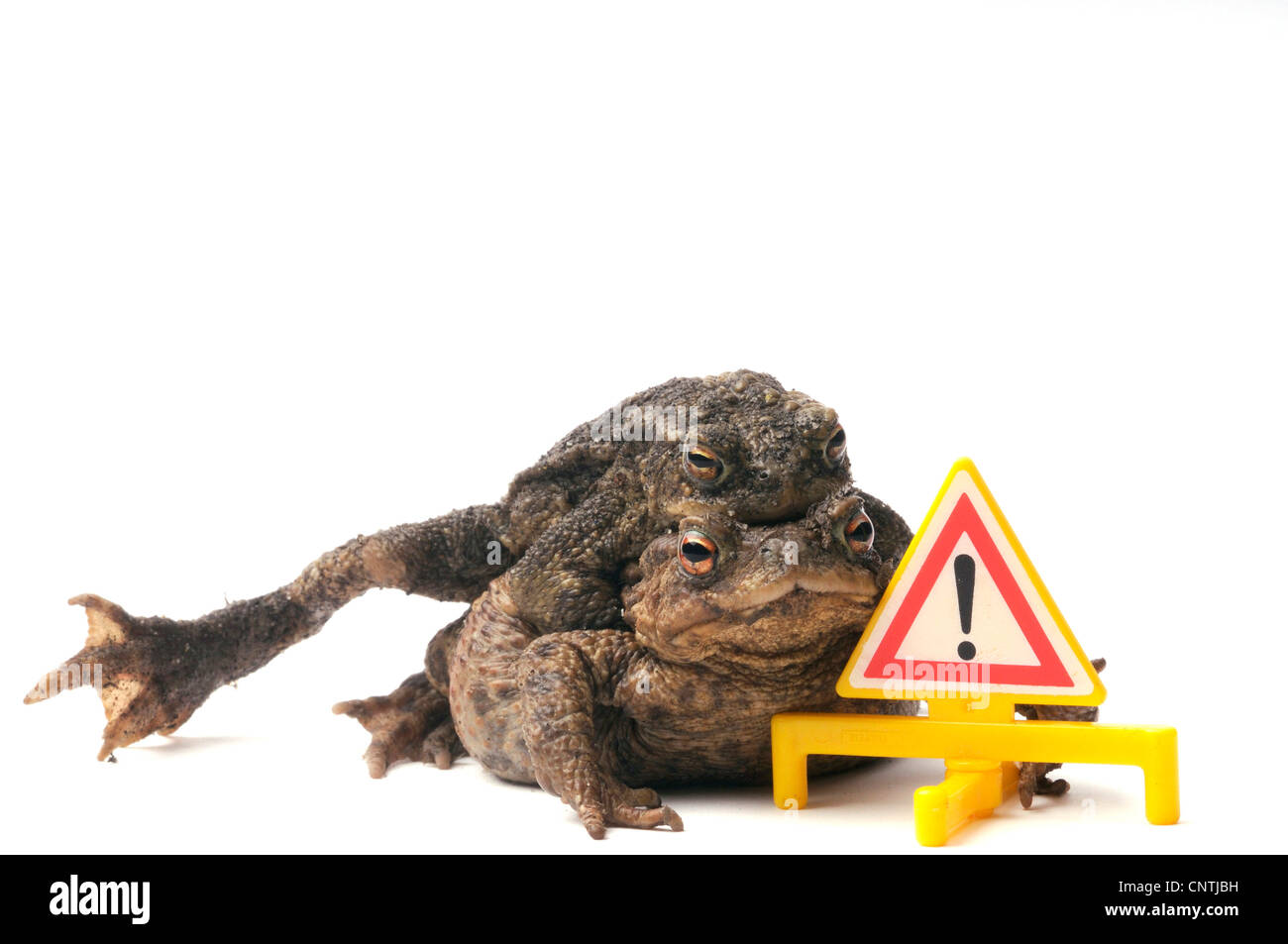 European common toad bufo bufo couple behind a warning triangle european common toad bufo bufo couple behind a warning triangle model germany biocorpaavc Images