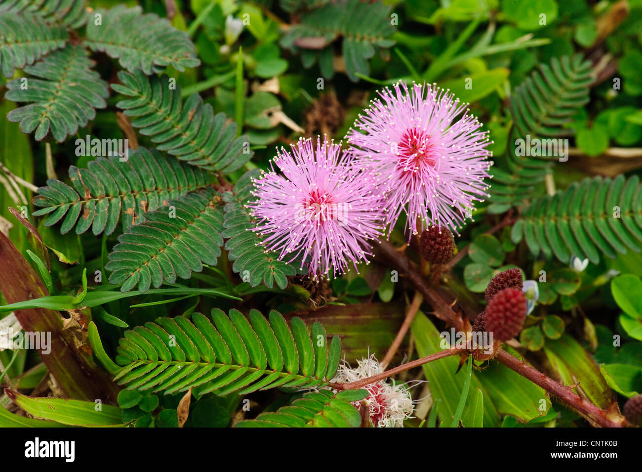 sensitive plant touch me not mimosa pudica flowering stock photo royalty free image. Black Bedroom Furniture Sets. Home Design Ideas