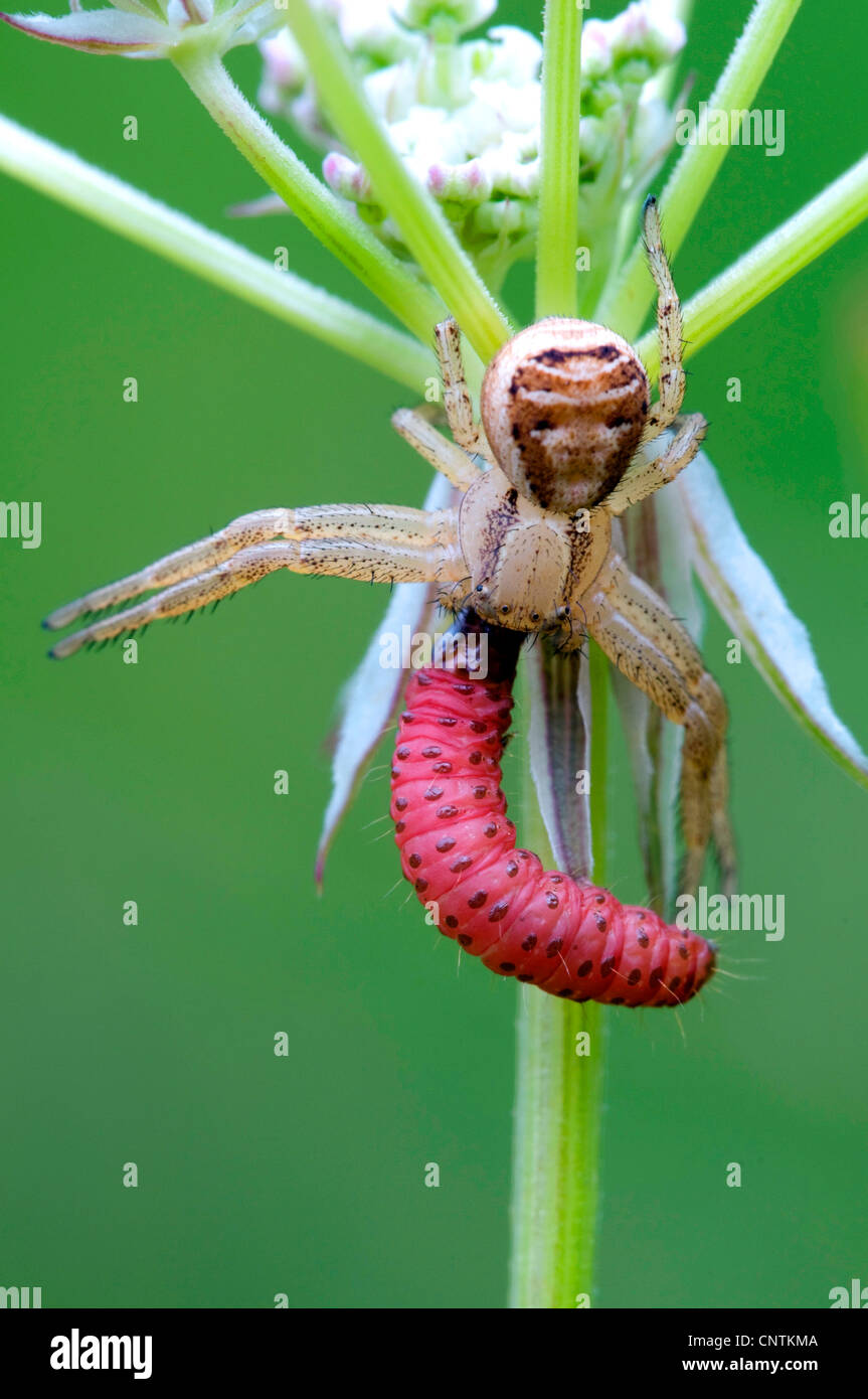 Crab spider preying bumble bee garden spiders spiders flower spiders - Crab Spider Xysticus Cristatus With Prey Germany Bavaria Stock Image
