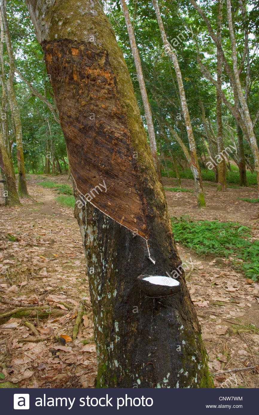 how to make rubber from rubber tree