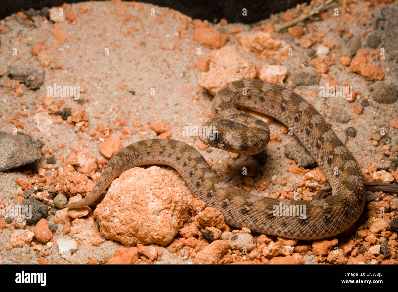 Baby Saw Scaled Viper