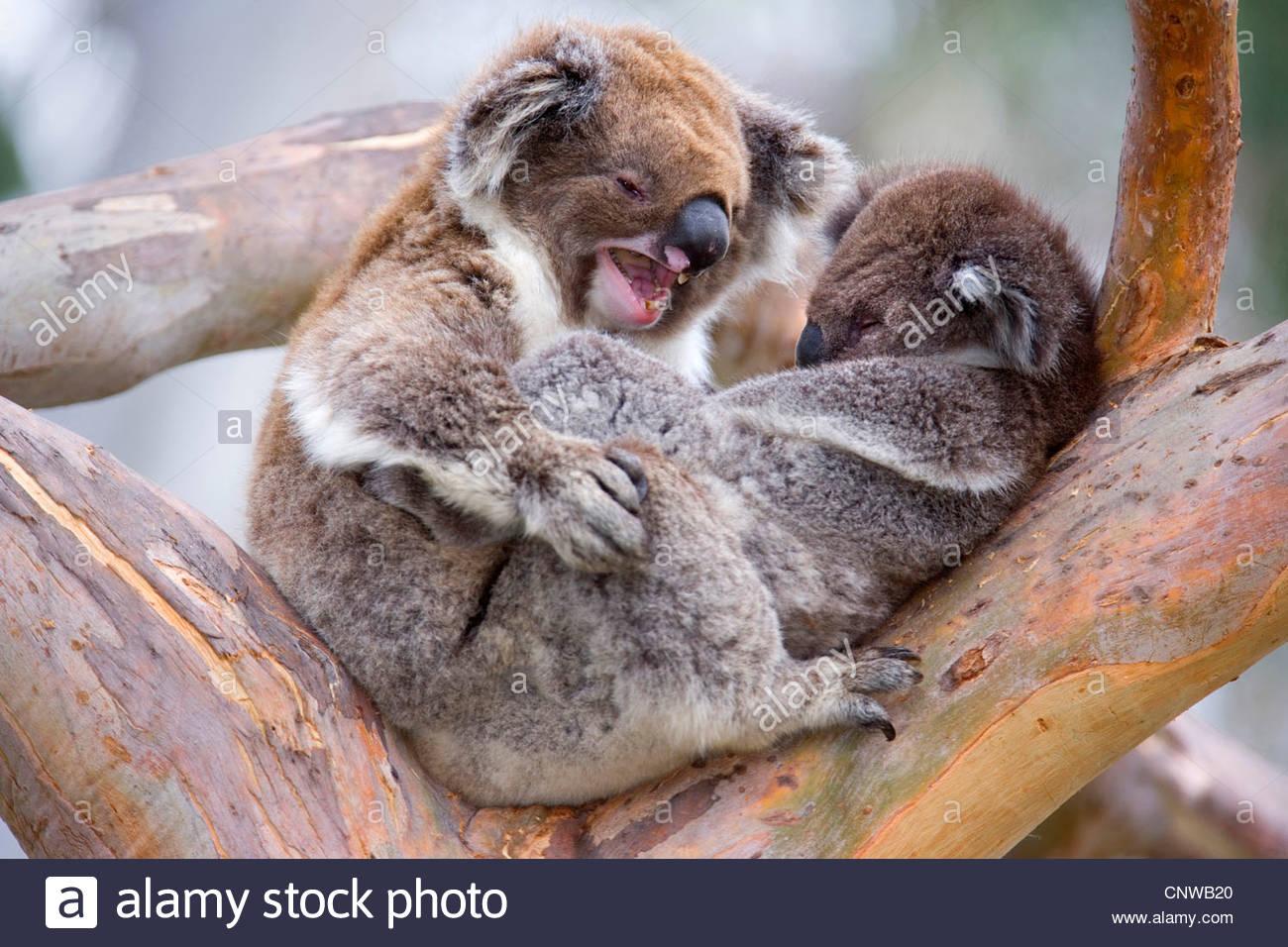 koala koala bear phascolarctos cinereus mother and child in a