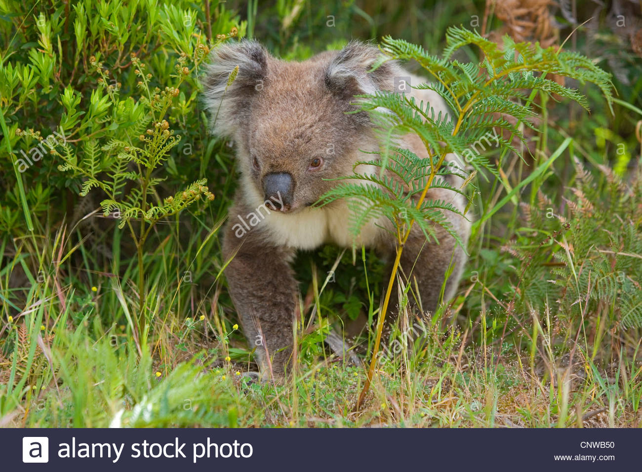 Deadly Animals: 11 Amazing Facts About Koala Bears